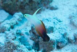 BD-150422-Maldives-7773-Nemateleotris-magnifica.-Fowler.-1938-[Fire-goby].jpg